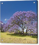 Blossoming Jacaranda Acrylic Print