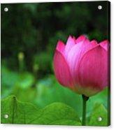 Blossoming Lotus Flower Closeuop Acrylic Print