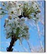 Blossoming Pear Acrylic Print