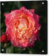 Blossoming Rose Acrylic Print
