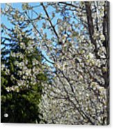 Blossoms And The Bard Acrylic Print