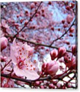 Blossoms Art Blue Sky Spring Tree Blossoms Pink Giclee Baslee Troutman Acrylic Print