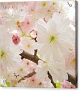 Blossoms Art Print 53 Sunlit Pink Tree Blossoms Macro Springtime Blue Sky  Acrylic Print