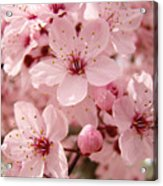 Blossoms Art Prints 63 Pink Blossoms Spring Tree Blossoms Acrylic Print
