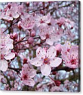 Blossoms Art Prints Nature Pink Tree Blossoms Baslee Troutman Acrylic Print