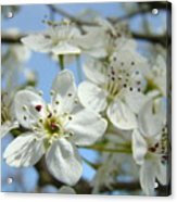 Blossoms Art Prints Whtie Spring Tree Blossoms Blue Sky Baslee Acrylic Print