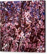 Blossoms Acrylic Print