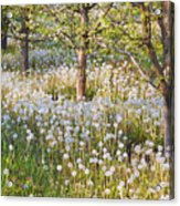 Blossoms Growing In A Fruit Orchard In Acrylic Print