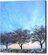 Blossoms Acrylic Print by JC Findley