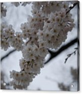 Blossoms Of Dc Acrylic Print