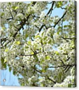 Blossoms Whtie Tree Blossoms 29 Nature Art Prints Spring Art Acrylic Print
