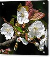 Blosson Standout Acrylic Print