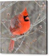 Blowing Snow Cardinal Acrylic Print