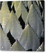 Blue Agave Cactus Acrylic Print