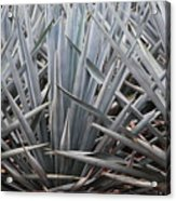 Blue Agave  Tequila Mexico  Acrylic Print