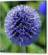Blue Allium Acrylic Print