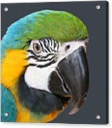 Blue And Gold Macaw Digital Freehand Painting Acrylic Print