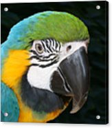 Blue And Gold Macaw Freehand Painting Square Format Acrylic Print