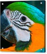Blue And Gold Macaw Headshot Acrylic Print