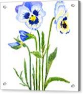 Blue And Purple Pansies  Acrylic Print