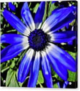 Blue And White African Daisy Acrylic Print