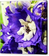 Blue And White Delphiniums Acrylic Print