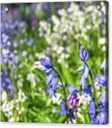 Blue And White Hyacinth Flowers Acrylic Print