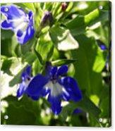 Blue And White Lobelia Acrylic Print