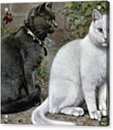 Blue And White Short Haired Cats Acrylic Print