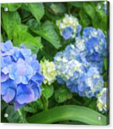 Blue And Yellow Hortensia Flowers Acrylic Print