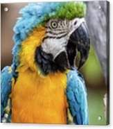 Blue And Yellow Macaw Vertical Acrylic Print