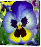 Blue And Yellow Pansy Acrylic Print
