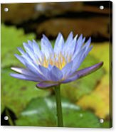 Blue And Yellow Water Lily Acrylic Print