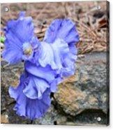 Blue Angel - Iris Acrylic Print