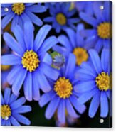 Blue Asters Acrylic Print