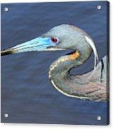Blue Beak Acrylic Print