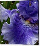 Blue Bearded Iris Acrylic Print