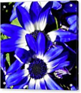 Blue Beauties Acrylic Print