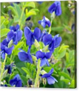 Blue Beauties Acrylic Print