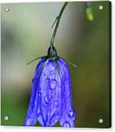 Blue Bell Acrylic Print