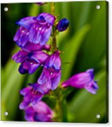Blue Bells Wild Flower Acrylic Print