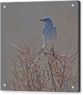 Blue Bird Colored Pencil Acrylic Print