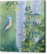 Blue Bird In A Birch  Acrylic Print