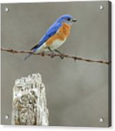 Blue Bird On Barbed Wire Acrylic Print