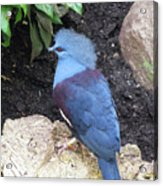 Blue Bird Washington D.c. National Aviary Acrylic Print