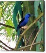 Blue Bird With A Curved Bill Acrylic Print