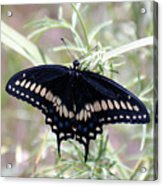Blue Black Swallowtail Acrylic Print
