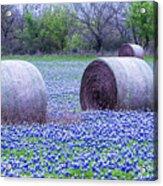 Blue Bonnets In Field Acrylic Print