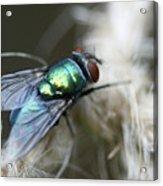 Blue Bottle Fly On Garden Twine Acrylic Print