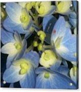 Blue Butterflies Acrylic Print